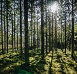 sunlight-between-trees-in-woodland-1